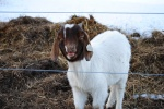 Buddy the Goat